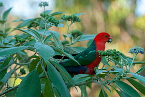 Australian king parrot (Alisterus scapularis), male eating berries of shrub. Lane Cove National Park, Sydney, New South Wales, Australia. - Steven David Miller