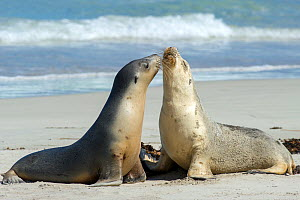 Australian sea lion (Neophoca cinerea), two females greeting each other on beach. Seal Bay Conservation Park, Kangaroo Island, South Australia.  -  Steven David Miller