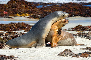 Australian sea lion (Neophoca cinerea), two females interacting on beach having emerged from sea. Seal Bay Conservation Park, Kangaroo Island, South Australia.  -  Steven David Miller