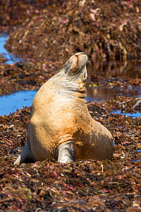 Australian sea lion (Neophoca cinerea) male basking whilst sitting in bed of seaweed. Seal Bay Conservation Park, Kangaroo Island, South Australia.  -  Steven David Miller