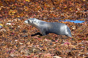 Australian sea lion (Neophoca cinerea) female crawling through bed of seaweed on beach. Seal Bay Conservation Park, Kangaroo Island, South Australia. - Steven David Miller