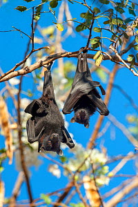 Black flying fox (Pteropus alecto), mother and baby roosting on branch. Kununurra, Western Australia. - Steven David Miller