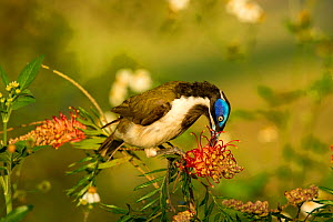 Blue-faced honeyeater (Entomyzon cyanotis) feeding on Spider flower (Grevillea sp). Mackay, Queensland, Australia. - Steven David Miller