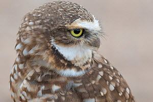 Burrowing owl (Athene cunicularia) looking back, Sonoran Desert, Arizona, USA. Display of white brow and chin feathers, October. - Jack Dykinga