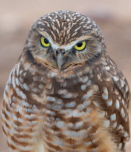 Burrowing owl (Athene cunicularia), Marana, Sonoran Desert, Arizona, USA. Display of brow and chin feathers turning bright white. October. - Jack Dykinga