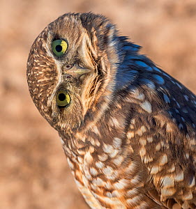 Burrowing owl (Athene cunicularia) with head turned to one side, Marana, Sonoran Desert, Arizona, USA. October. - Jack Dykinga