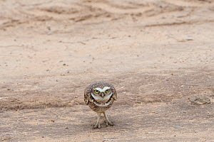 Burrowing owl (Athene cunicularia) showing bright white brow and chin feathers while bobbing up and down in territorial display, sequence 2 of 2, Marana, Sonoran Desert, Arizona, USA. October. - Jack Dykinga