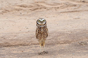 Burrowing owl (Athene cunicularia) showing bright white brow and chin feathers while bobbing up and down in territorial display, sequence 1 of 2, Marana, Sonoran Desert, Arizona, USA. October. - Jack Dykinga
