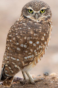 Burrowing owl (Athene cunicularia) Sonoran Desert, Arizona, USA. Display of white brow and chin feathers. October. - Jack Dykinga