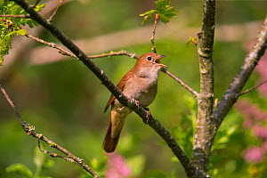 Nightingale (Luscinia megarhynchos ) singing, Germany, April. - Hermann Brehm