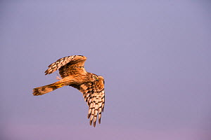 Montagu's Harrier (Circus pygargus) female in flight, Germany, July.  -  Hermann Brehm
