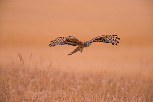 Montagu's Harrier (Circus pygargus) female flying low, Germany, July.  -  Hermann Brehm