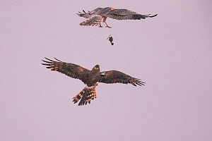 Montagu's Harrier (Circus pygargus) prey transfer from male to female, Germany, July.  -  Hermann Brehm