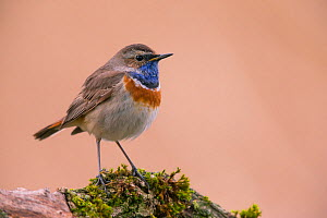 Bluethroat (Luscinia svecica cyanecula) male, Germany, April.  -  Hermann Brehm