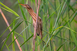 Little Bittern (Ixobrychus minutus) Germany, May.  -  Hermann Brehm