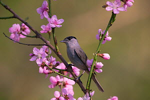 Blackcap (Sylviya atricapilla) male perched in blossom, Hungary, April.  -  Hermann Brehm