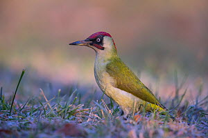 Green Woodpecker (Picus viridis ) male, Germany  -  Hermann Brehm