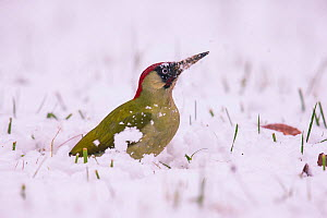 Green Woodpecker (Picus viridis ) male, Germany, December.  -  Hermann Brehm