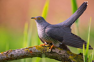 Cuckoo (Cuculus canorus) male, Germany, April. - Hermann Brehm