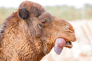 Dromedary camel (Camelus dromedarius) male with inflated palate or dulla (often mistaken for a tongue) sticking out its mouth. This is used as a mating display. Douz, Sahara Desert, Tunisia. - Louis-Marie Preau