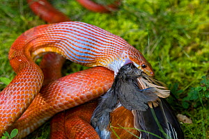 Corn snake (Pantherophis guttatus) eating an American robin (Turdus migratorius). The snake is captive, the robin was found dead and offered to snake, Maryland, USA. - John Cancalosi