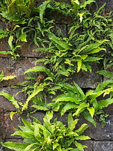 Hart's Tongue Fern (Asplenium scolopendrium) and Maidenhair spleenwort (Asplenium trichomanes) growing on wall. Northumberland, England, UK, September.  -  Gary  K. Smith