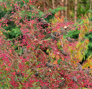 Common starling (Sturnus vulgaris) flock feeding on Spindle berries (Euonymus europaea). England, UK. November.  -  Gary  K. Smith