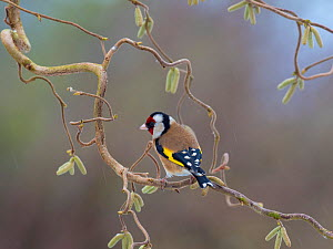 Goldfinch (Carduelis carduelis) perched on corkscrew hazel with catkins, England, UK. March. - Gary  K. Smith