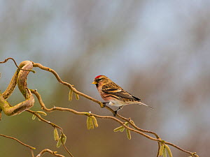 Common redpoll (Carduelis flammea) male, perched on corkscrew hazel with catkins, England, UK. March. - Gary  K. Smith
