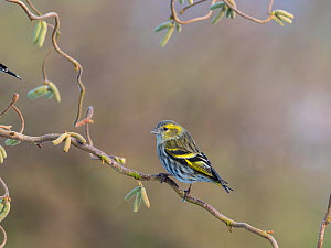 Siskin (Carduelis spinus) perched on corkscrew hazel with catkins, England, UK. March. - Gary  K. Smith