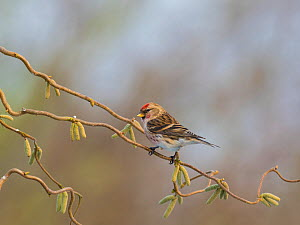 Common redpoll (Carduelis flammea) perched on corkscrew hazel with catkins, England, UK. March. - Gary  K. Smith