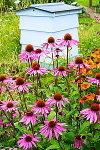 Echinacea purpurea 'Lustre Hybrids' and Helenium 'Sahin's Early Flower' -in front of traditional beehive in cottage garden, summer.  -  Gary  K. Smith