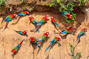 RF - Red-and-Green Macaws (Ara chloropterus), feeding at the wall of a riverside clay lick. Blanquillo Clay Lick, Manu Biosphere Reserve, Peru. November. (This image may be licensed either as rights m... - Alex  Hyde