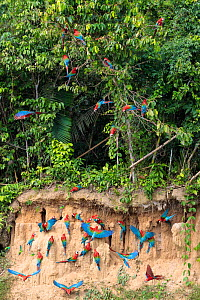RF - Red-and-Green Macaws (Ara chloropterus), feeding on minerals in river bank, Blanquillo Clay Lick, Manu Biosphere Reserve, Peru. November. (This image may be licensed either as rights managed or r... - Alex  Hyde