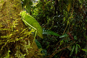 RF - Katydid / Bush Cricket (Tettigoniidae) camouflaged amongst cloud forest understory vegetation. 1600 metres altitude, Manu Biosphere Reserve, Peru. November. (This image may be licensed either as...  -  Alex  Hyde