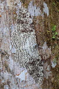 RF - White Witch Moth (Thysania agrippina) camouflaged on tree trunk in cloud forest. This species rests by day with its body perpendicular to the tree trunk. Manu Biosphere Reserve, Amazonia, Peru. (...  -  Alex  Hyde