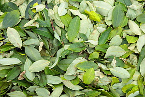 RF - Coca (Erythroxylum coca) leaves drying in the sun. Amazonia, Peru. November. (This image may be licensed either as rights managed or royalty free.) - Alex  Hyde