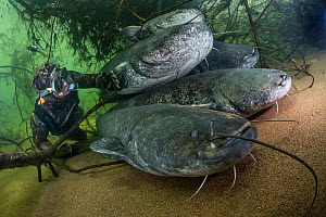 Wels catfish (Silurus glanis), five on riverbed, diver observing. River Loire, France. October.  -  Stephane Granzotto