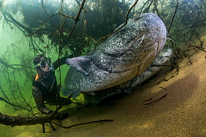 Wels catfish (Silurus glanis) and diver, view from below. River Loire, France. October.  -  Stephane Granzotto