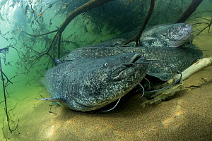 Wels catfish (Silurus glanis), group on riverbed, River Loire, France. October.  -  Stephane Granzotto