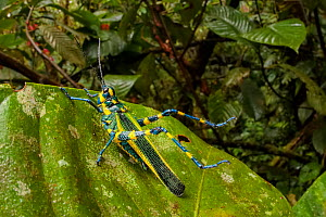 Lubber grasshopper (Chromacris sp.) with spiny legs raised in defensive pose and bearing aposematic markings to warn of its toxicity. Cloud forest understory vegetation, 1600 metres altitude, Manu Bio...  -  Alex  Hyde
