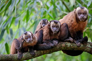 Brown / Tufted Capuchin (Cebus apella) family group in cloud forest, Manu Biosphere Reserve, Peru. - Alex  Hyde