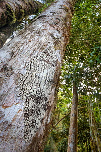 White Witch Moth (Thysania agrippina) camouflaged on tree trunk in cloud forest. This species rests by day with its body perpendicular to the tree trunk. Manu Biosphere Reserve, Amazonia, Peru.  -  Alex  Hyde