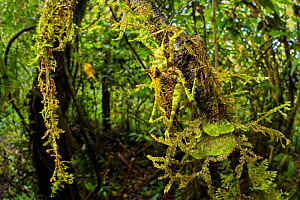 Moss-mimicking Katydid / Bush Cricket (Tettigoniidae) camouflaged amongst cloud forest understory vegetation. 1600 metres altitude, Manu Biosphere Reserve, Peru. November.  -  Alex  Hyde