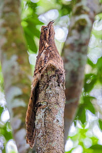 Long-tailed Potoo (Nyctibius aethereus) camouflaged on a tree stump. Lowland rainforest, Manu Biosphere Reserve, Amazonia, Peru. November. - Alex  Hyde