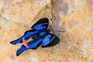 Blue Doctor butterfly (Rhetus periander) drinking salts from mineral-rich river clay, a behaviour know as 'puddling'. On the banks of the Manu River, Manu Biosphere Reserve, Amazonia, Peru. No...  -  Alex  Hyde