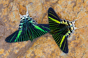 Green-banded Urania (Urania leilus) moths drinking salts from mineral-rich river clay, a behaviour know as 'puddling'. On the banks of the Manu River, Manu Biosphere Reserve, Amazonia, Peru. N...  -  Alex  Hyde