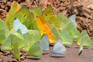 Butterflies of various species drinking salts from mineral-rich river clay, a behaviour know as 'puddling'. On the banks of the Manu River, Manu Biosphere Reserve, Amazonia, Peru. November.  -  Alex  Hyde