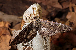 Moth feeding on Bridal Veil Stinkhorn (Phallus indusiatus), growing on rainforest floor. The fungal fruiting body gives off a pungent odour that attracts a wide range of invertebrates, which help disp...  -  Alex  Hyde