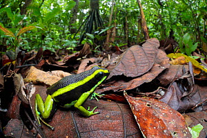 Three-striped poison frog (Ameerega trivittata) amongst leaf litter on lowland rainforest floor. Manu Biosphere Reserve, Amazonia, Peru. November. - Alex  Hyde